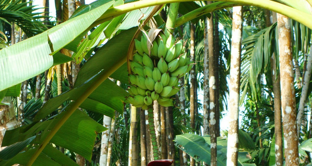 scarti-delle-banane