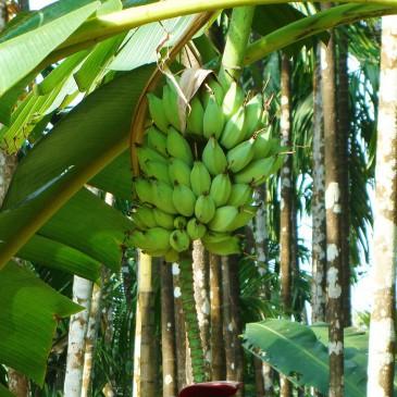 Gli assorbenti si fanno con gli scarti delle banane!